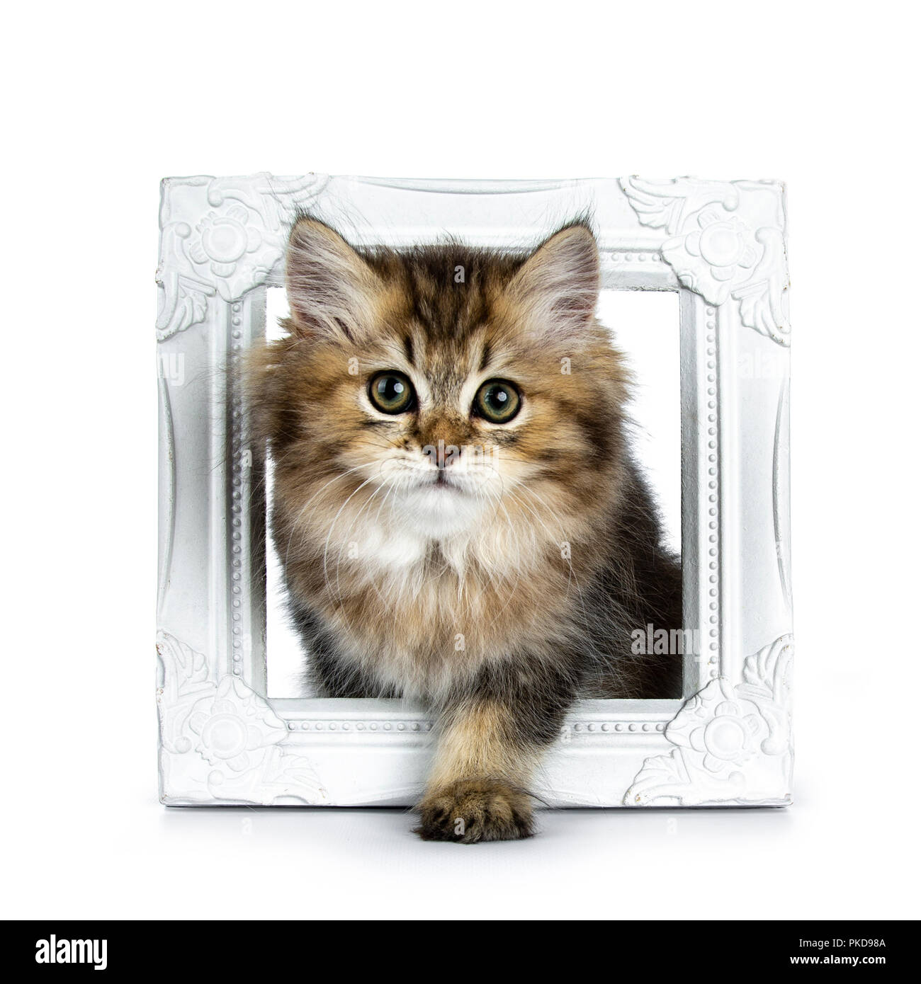 Fluffy British Longhair cat kitten standing / walking through a ...