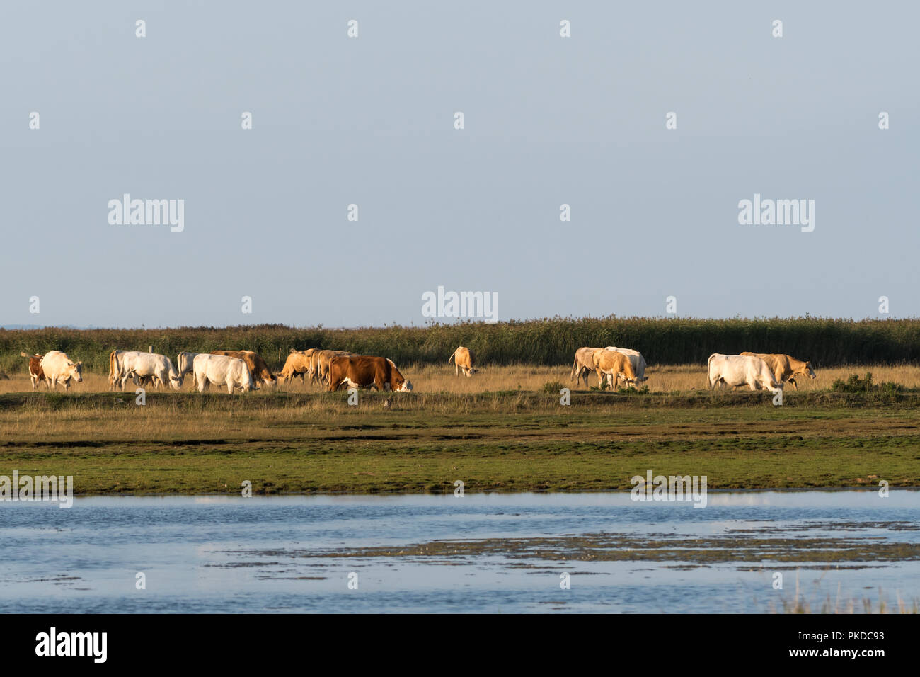 Herd of grazing cattle in a wetland at the swedish island Oland - Stock Image