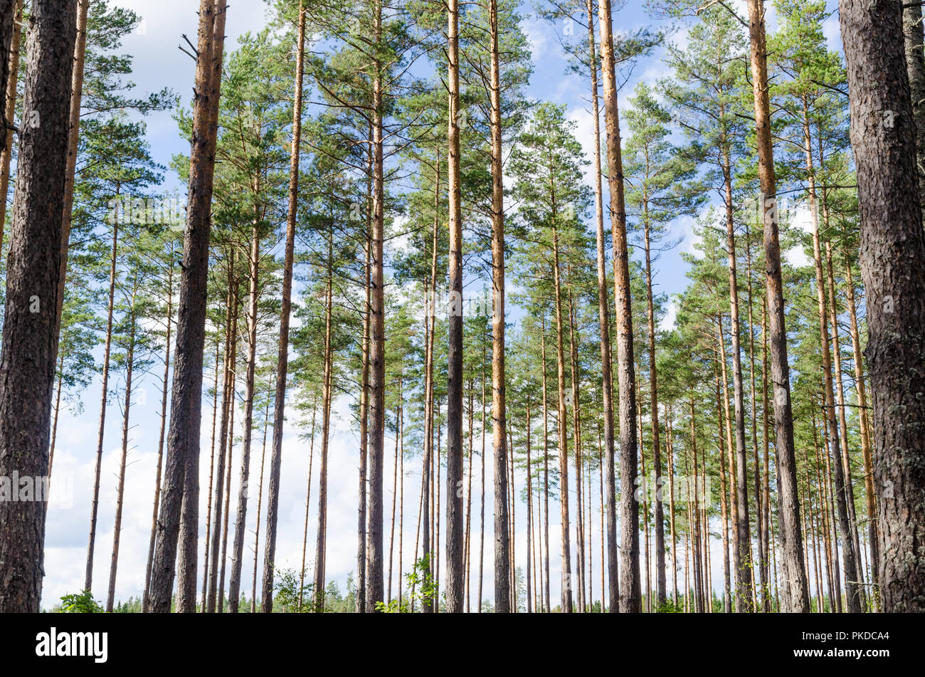 Beautiful Forest Background Of A Bright Woodland With Tall Pine