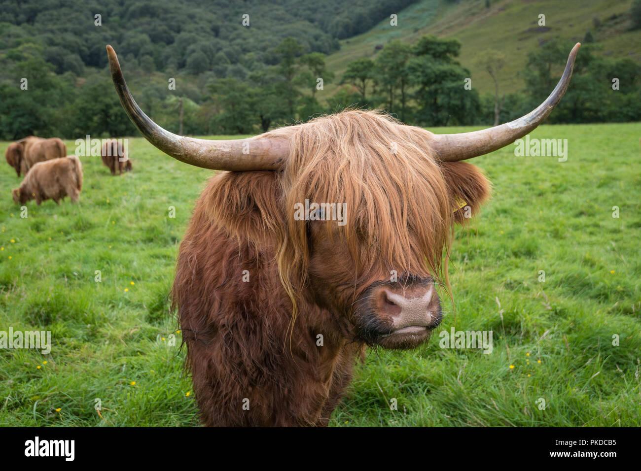 Scottish Highland cattle, Ben Nevis, Scottish Highlands, Scotland, UK - Stock Image