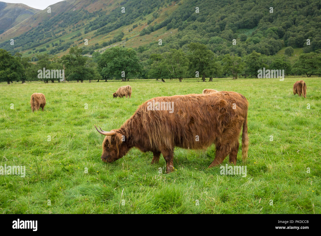 Scottish Highland cattle, Ben Nevis, Scottish Highlands, Scotland, UK - Stock Image