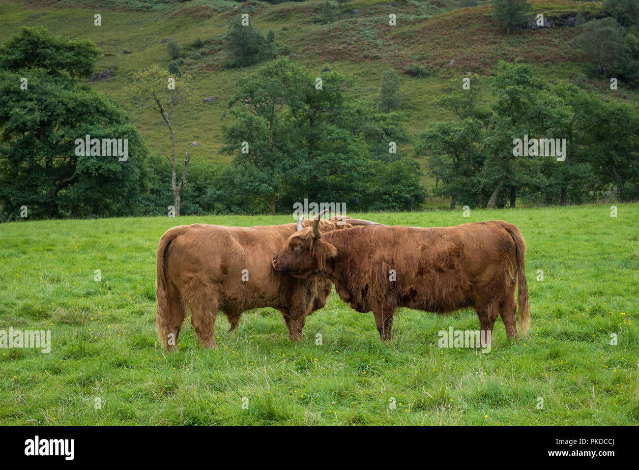 Cow and bull, Scottish Highland cattle, Ben Nevis, Scottish Highlands, Scotland, UK - Stock Image