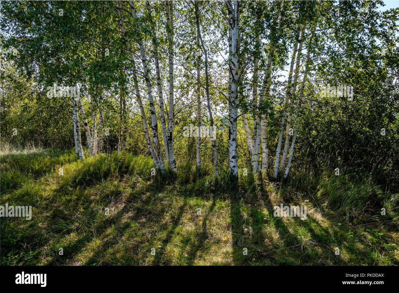 0bb5693a1c6c8 birch tree trunk texture in direct sunlight in a bright summer day with sun  shining through the leaves. landscape shadows in foreground