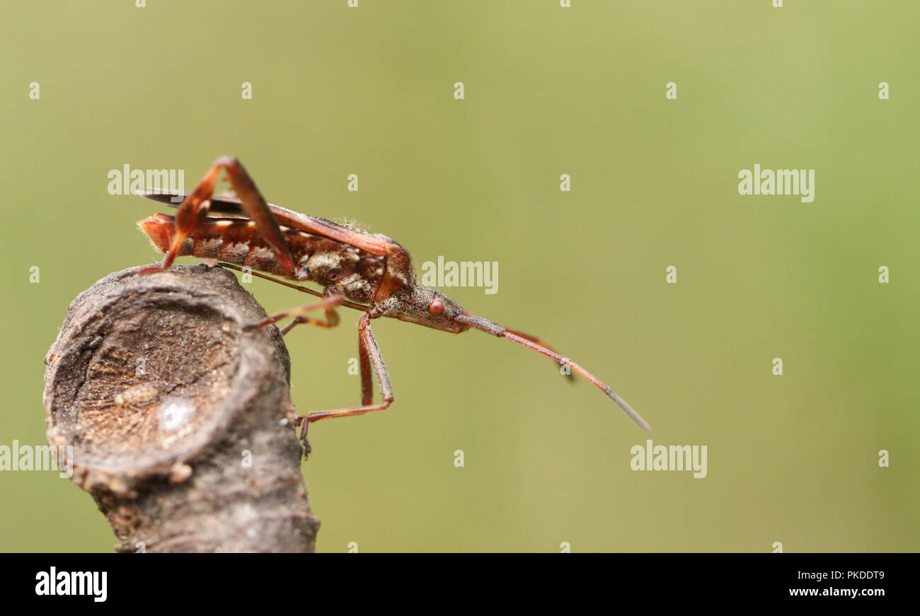 A pretty Western Conifer Seed Bug  (Leptoglossus occidentalis) Coreidae displaying on a twig. - Stock Image