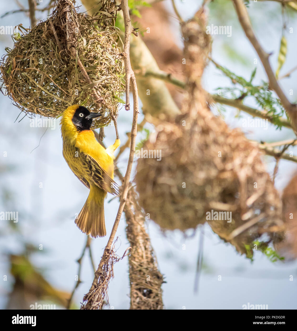 A Male Lesser Masked Weaver Bird Building A Nest In South Africa