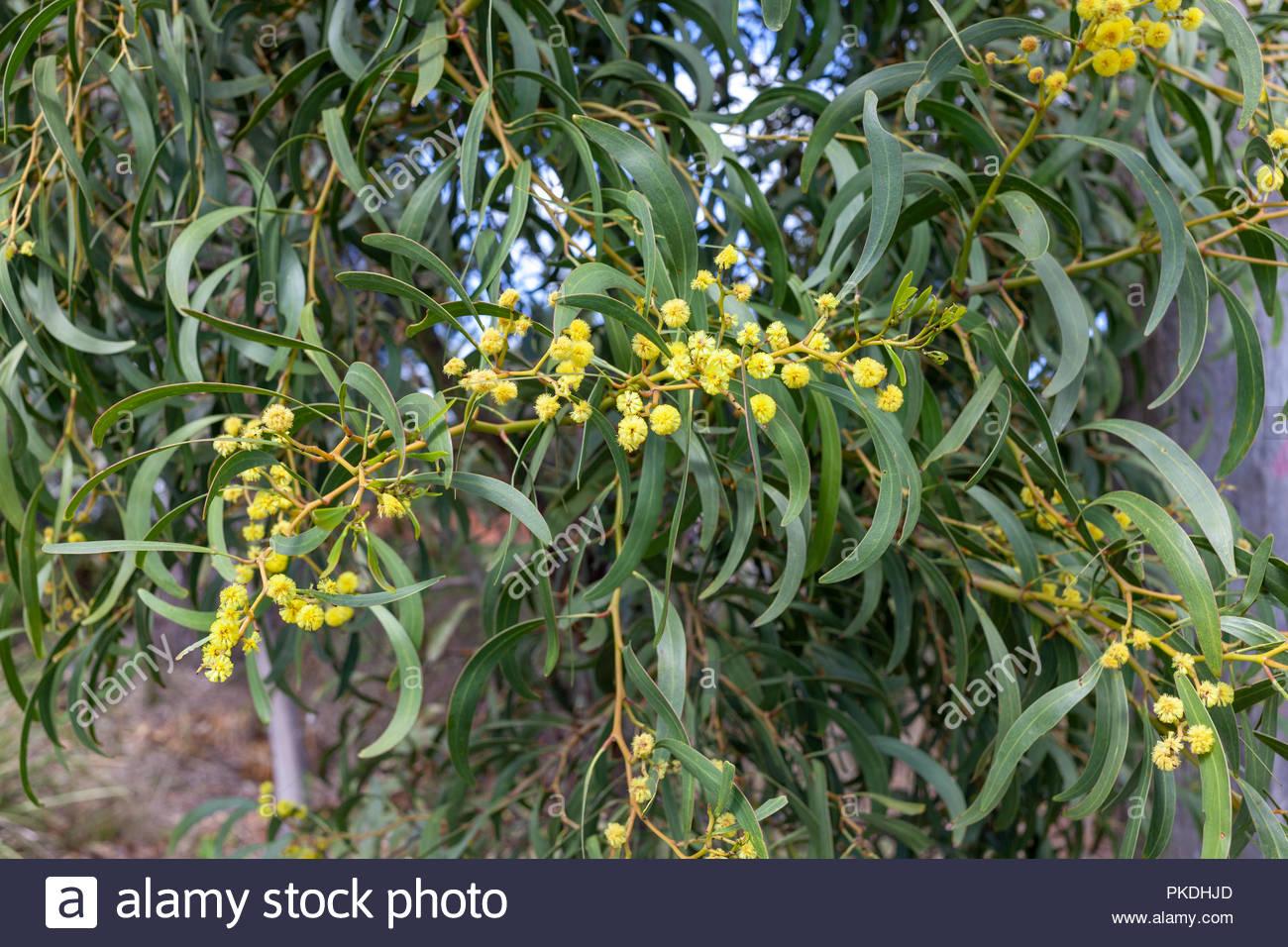 Australian spring flowers stock photos australian spring flowers australian wattle tree flowering in spring stock image mightylinksfo