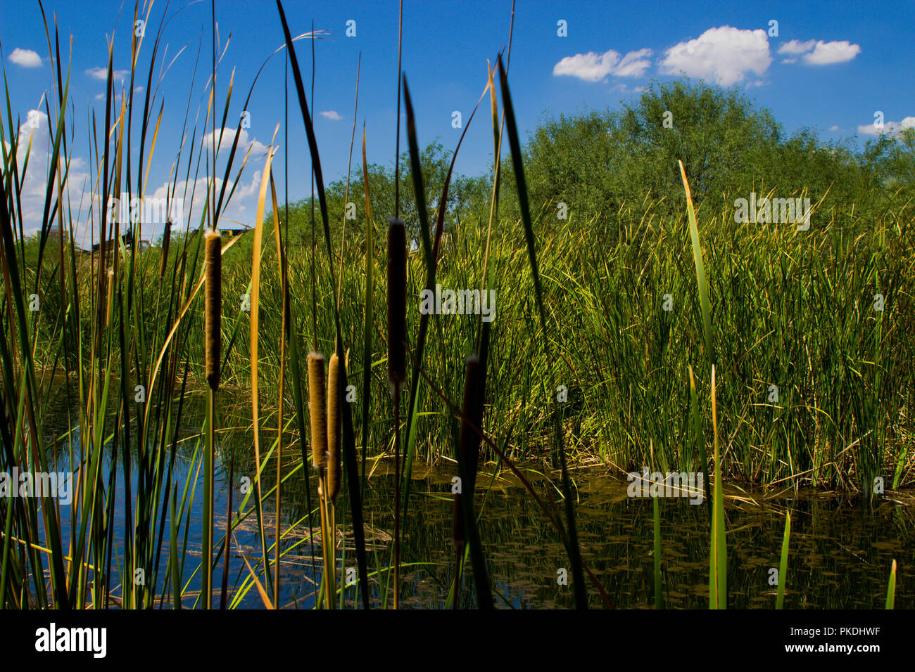 Cattails at the pond - Stock Image
