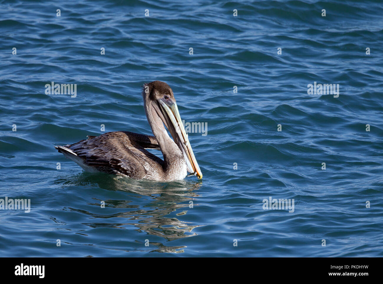 Brown Pelican with Anchovies Sticking out of beak - Stock Image