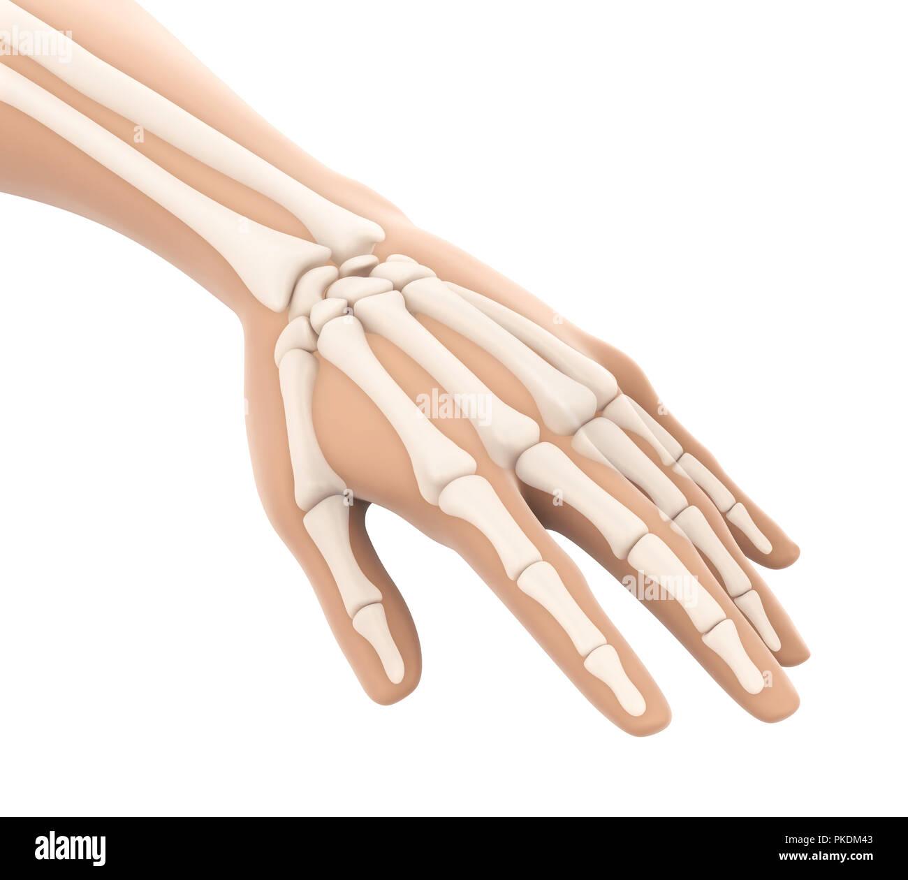 Human Hand Anatomy Illustration Stock Photo 218504051 Alamy