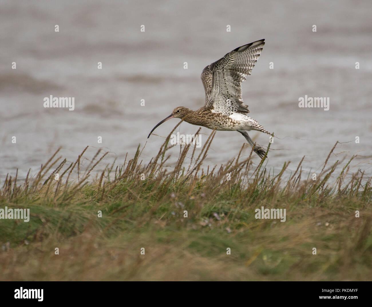 Curlew, Numenius arquata, landing in salt marsh, Morecambe Bay, Lancashire, UK Stock Photo