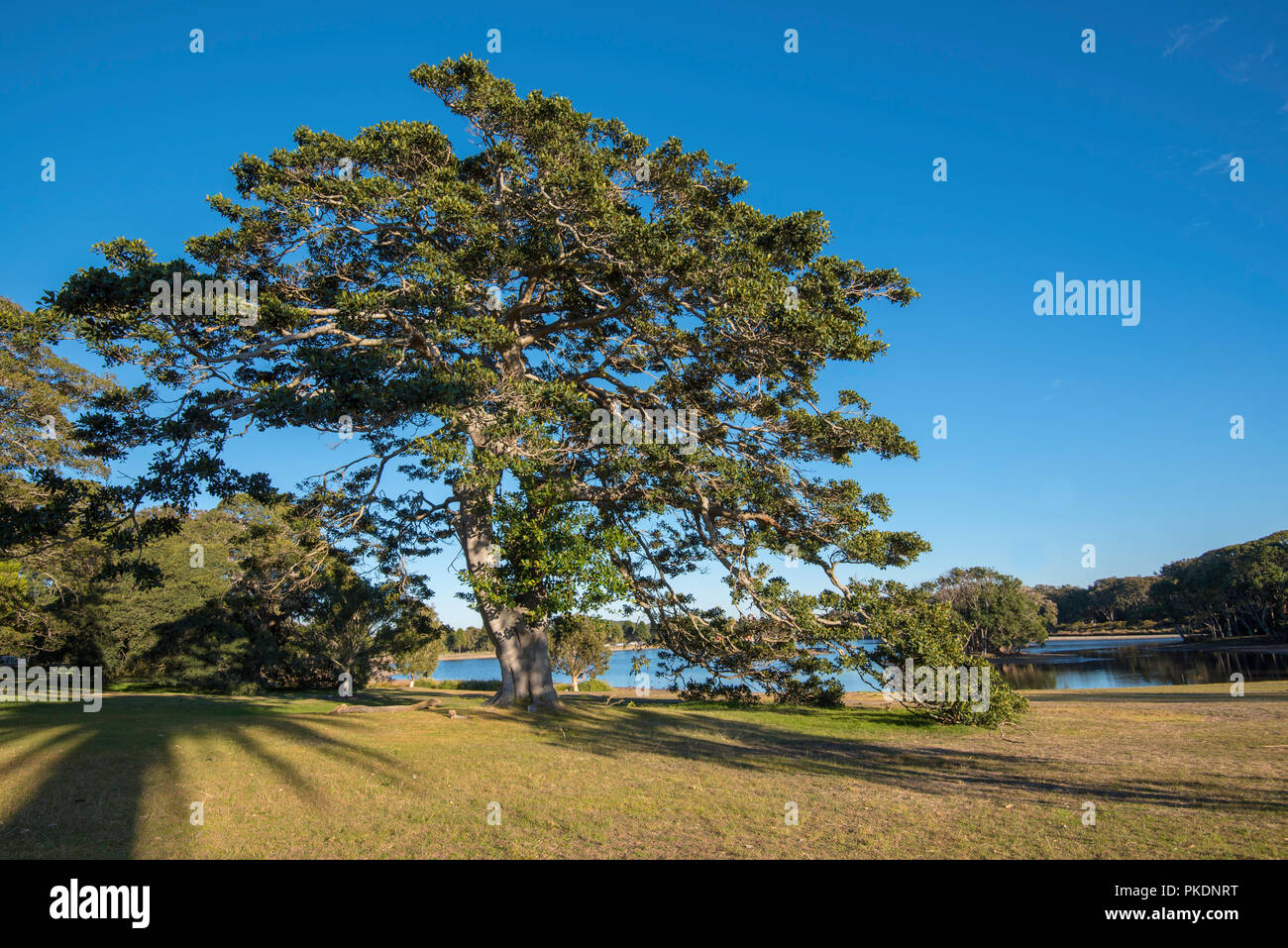 An open field and a large mature Port Jackson Fig (Ficus rubiginosa) in the morning sunlight in Centennial Park, Sydney Australia. - Stock Image