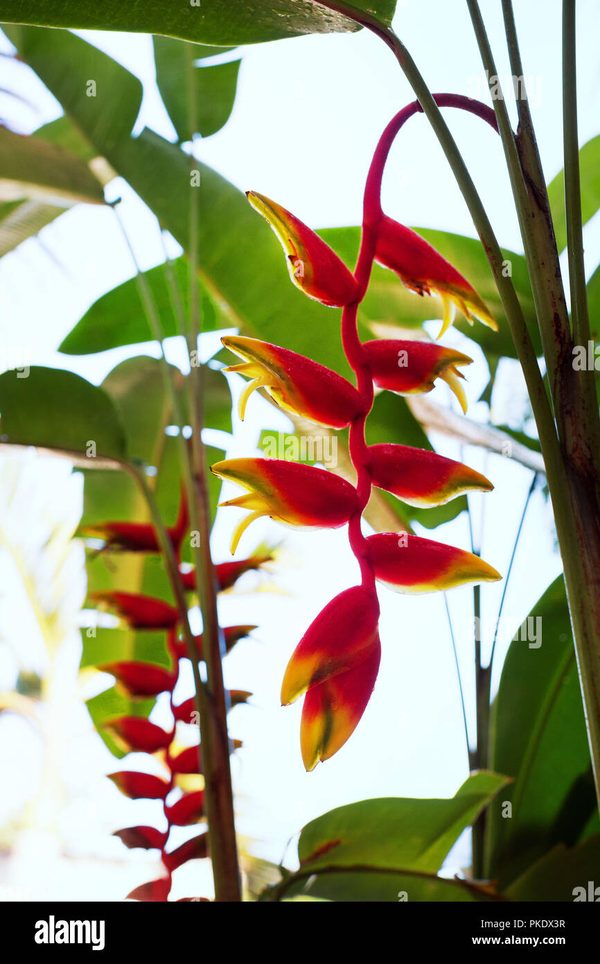 Heliconia Rostrata, Lobster Claw, flower, exotic flowers, nature of Asia, colorful, - Stock Image