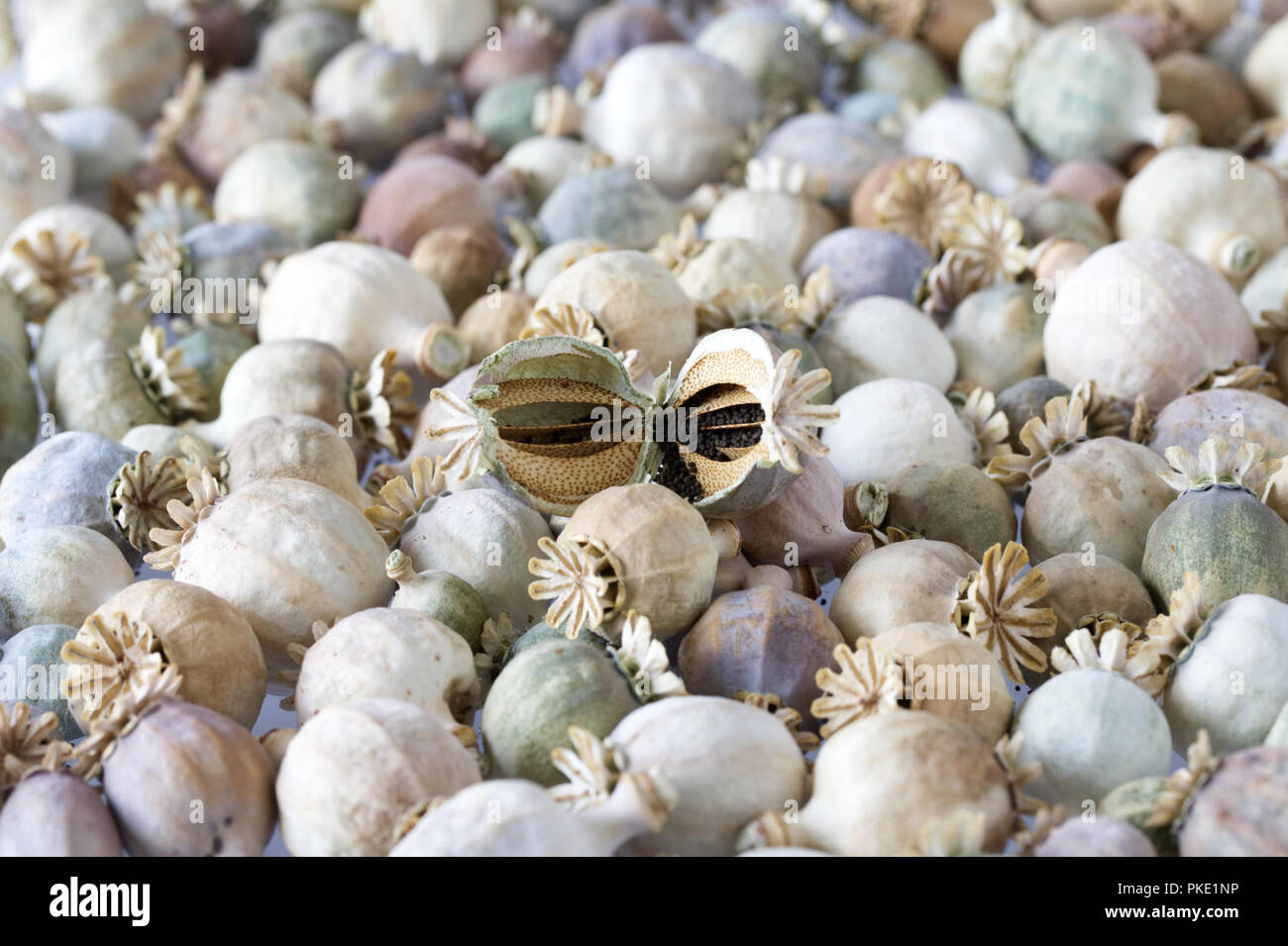 Cross section of a poppy seedhead. - Stock Image