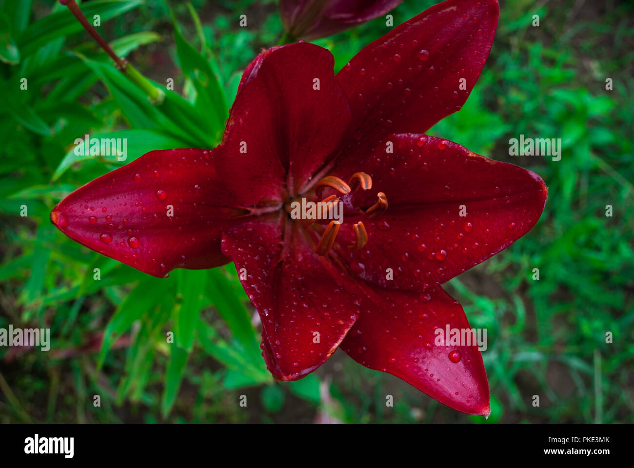Beautiful Flowers Of Red Lilies In The Garden Rain Drops On Lily