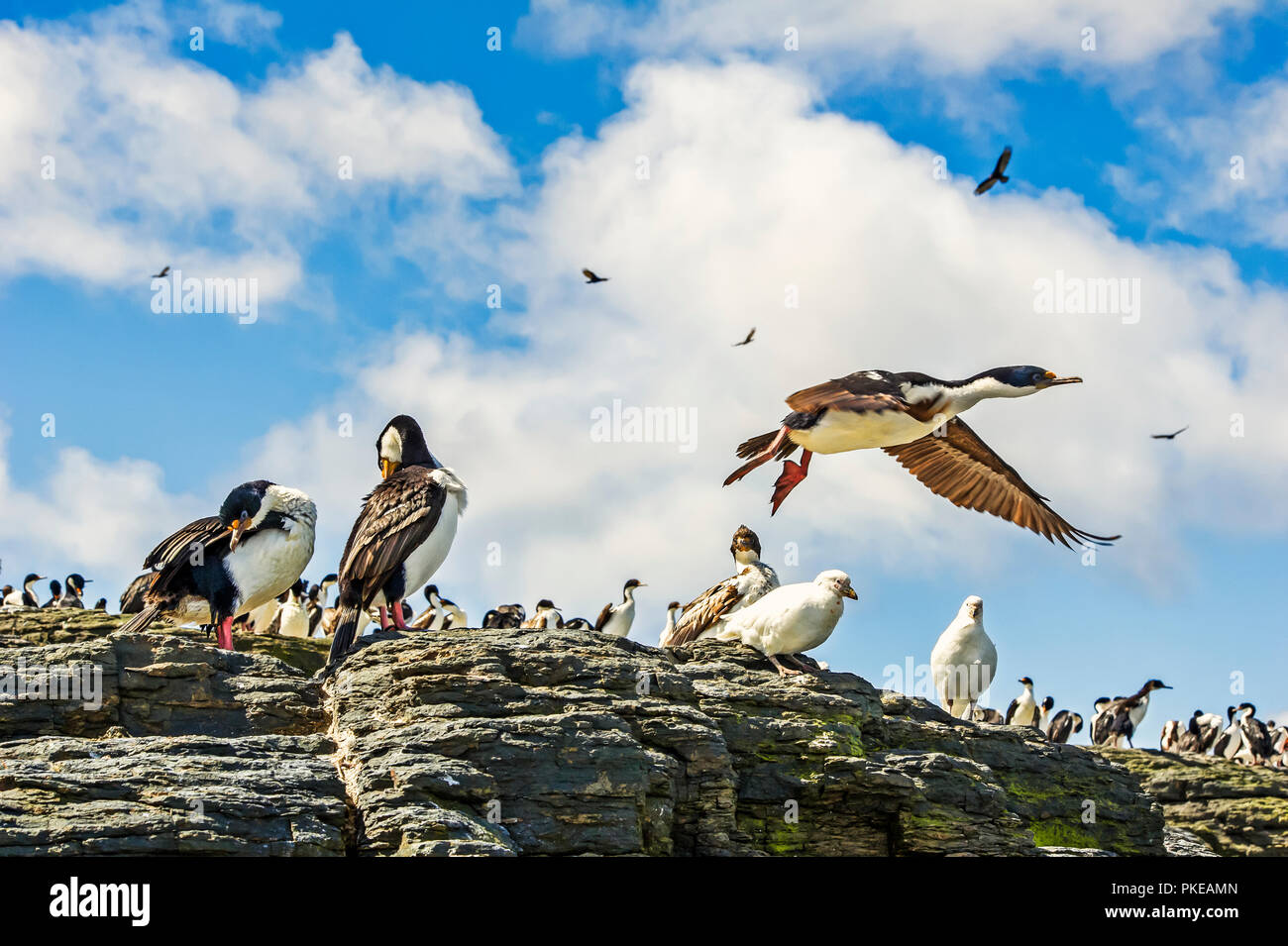 Imperial Shag (Leucocarbo atriceps) and a variety of other birds; Bleaker Island, Falkland Islands - Stock Image
