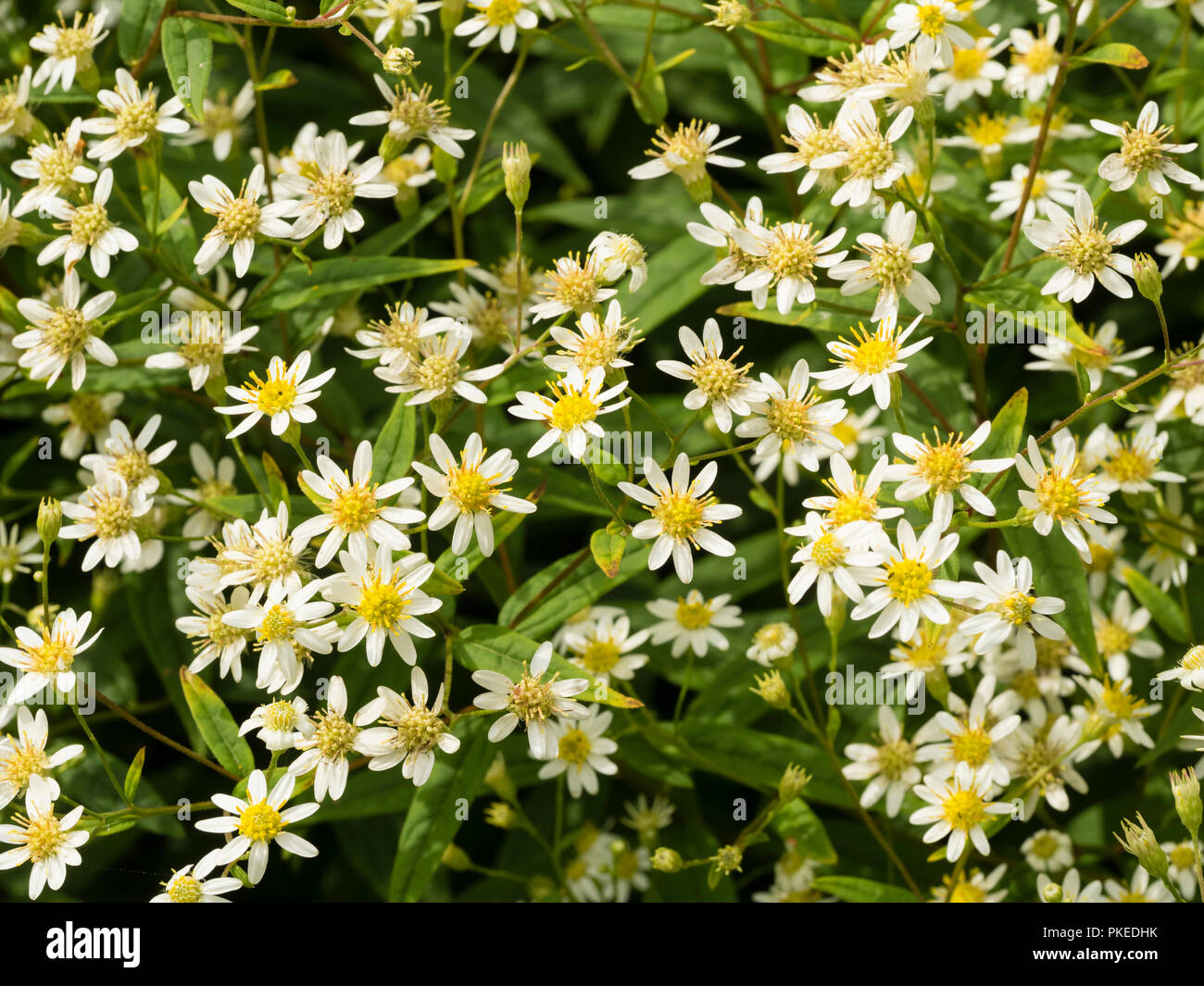 Daisy Like White Flowers Of The North American Flat Top Aster