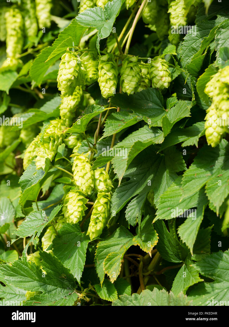 Late summer green flower of the climber Humulus lupulus, hops, used for flavouring for brewing beer - Stock Image