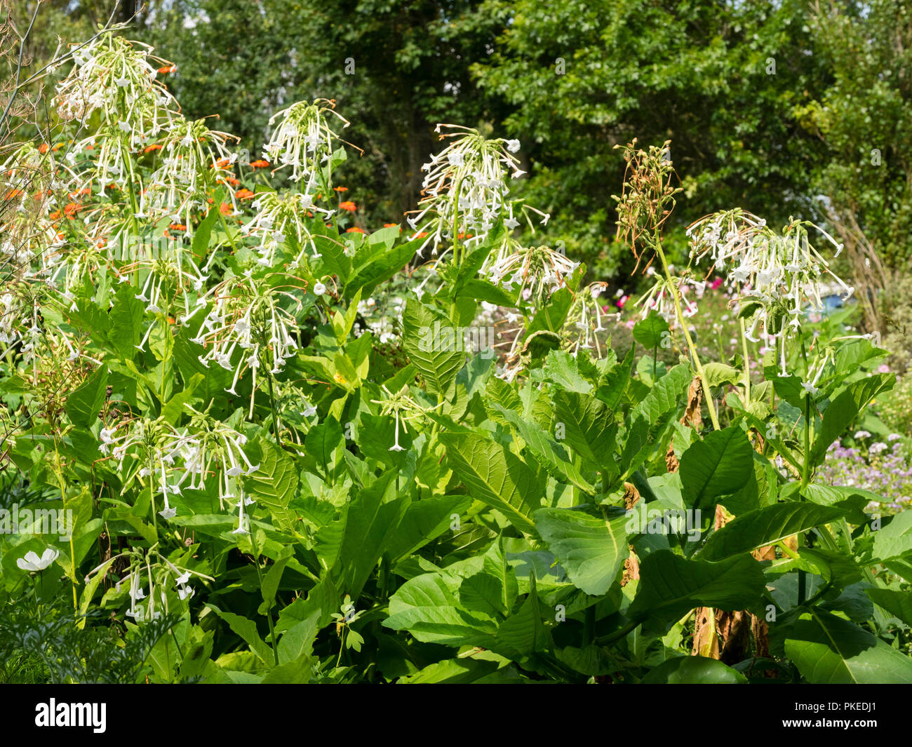 Scented, tubular white flowers and large leaves of the tender biennial tobacco plant, Nicotiana sylvestris - Stock Image