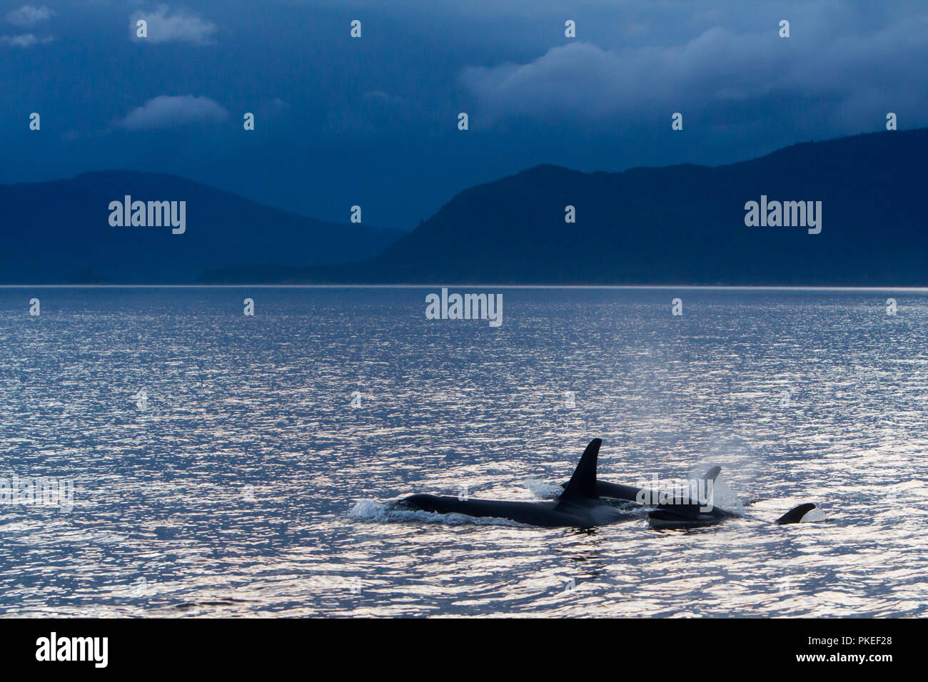 AG Pod of resident killer whales traveling in dramatic scenery and sunset conditions in Chatham strait Southeast Alaska Stock Photo