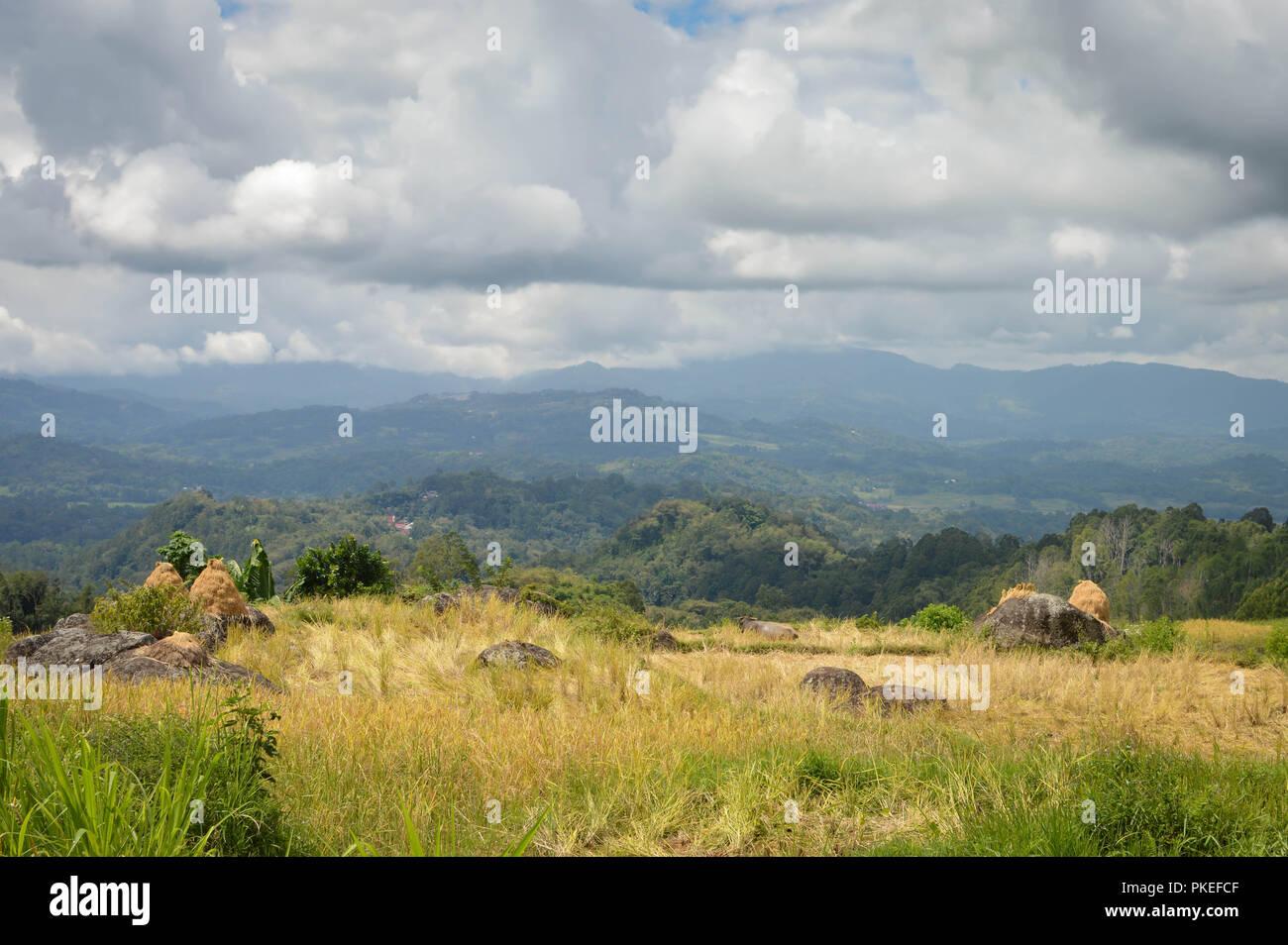 Beautiful landscape of the rice fields and rice being harvested in Tana Toraja highlands near Batutumongi village. South Sulawesi, Indonesia Stock Photo