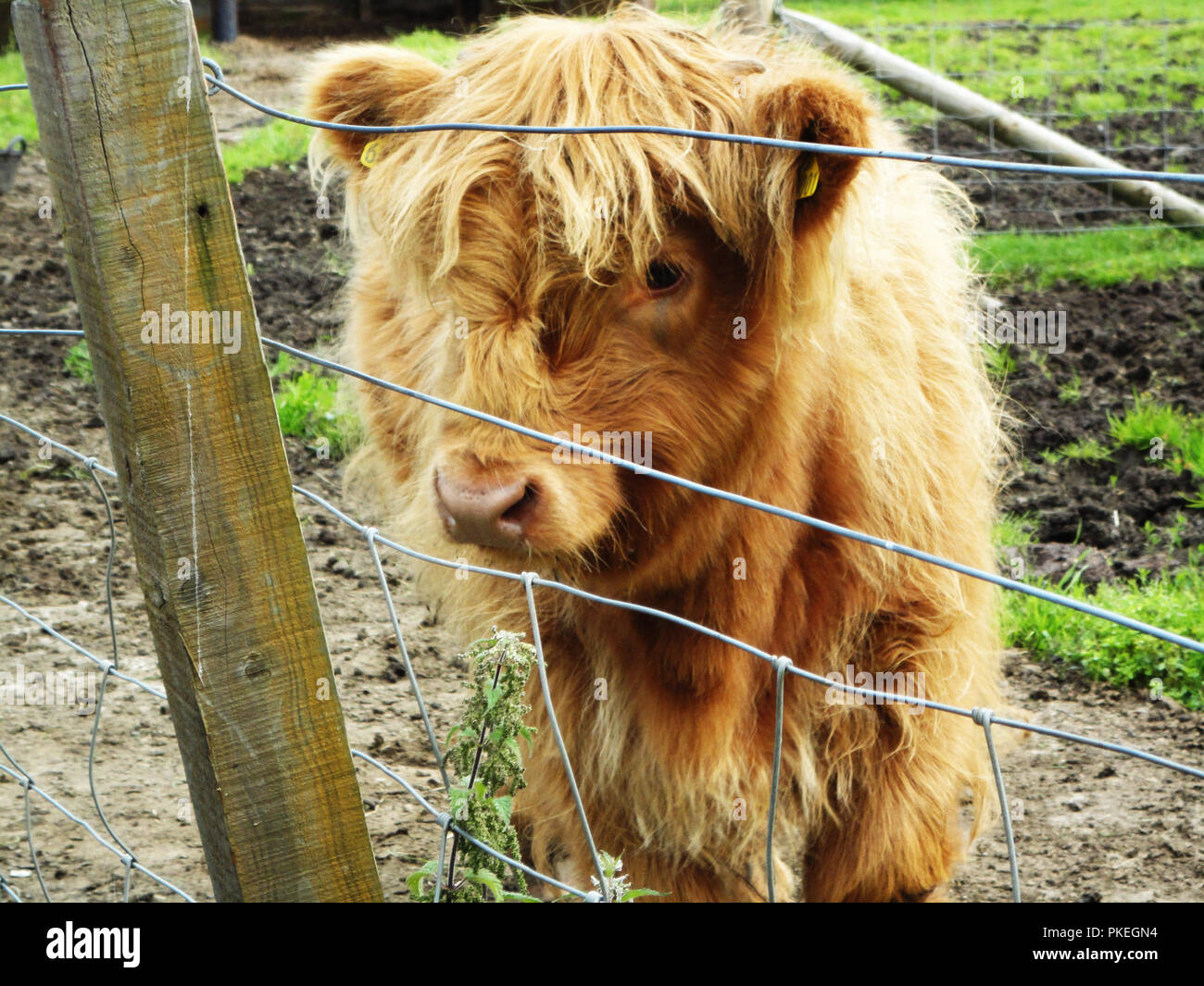 Baby highland cow found in Scotland.  Cute baby cattle on a Scotish farm. - Stock Image