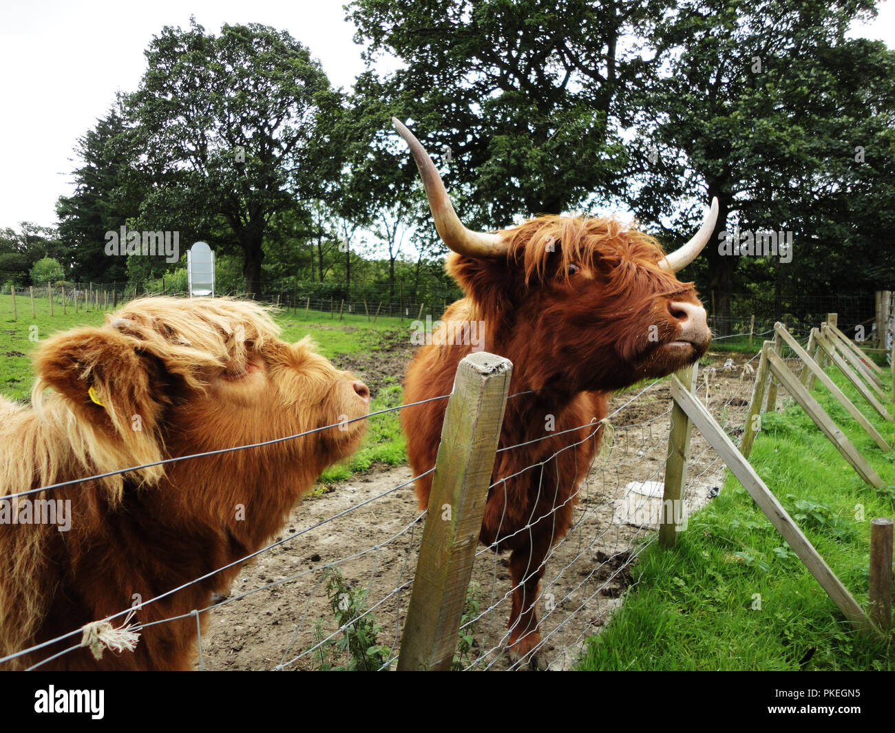 Highland cattle in the Scottish country side - Stock Image