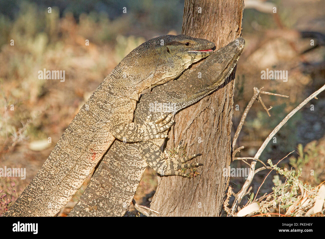 Two Australian goannas / lace monitor lizards mating in the wild at Culgoa National Park in outback NSW - Stock Image