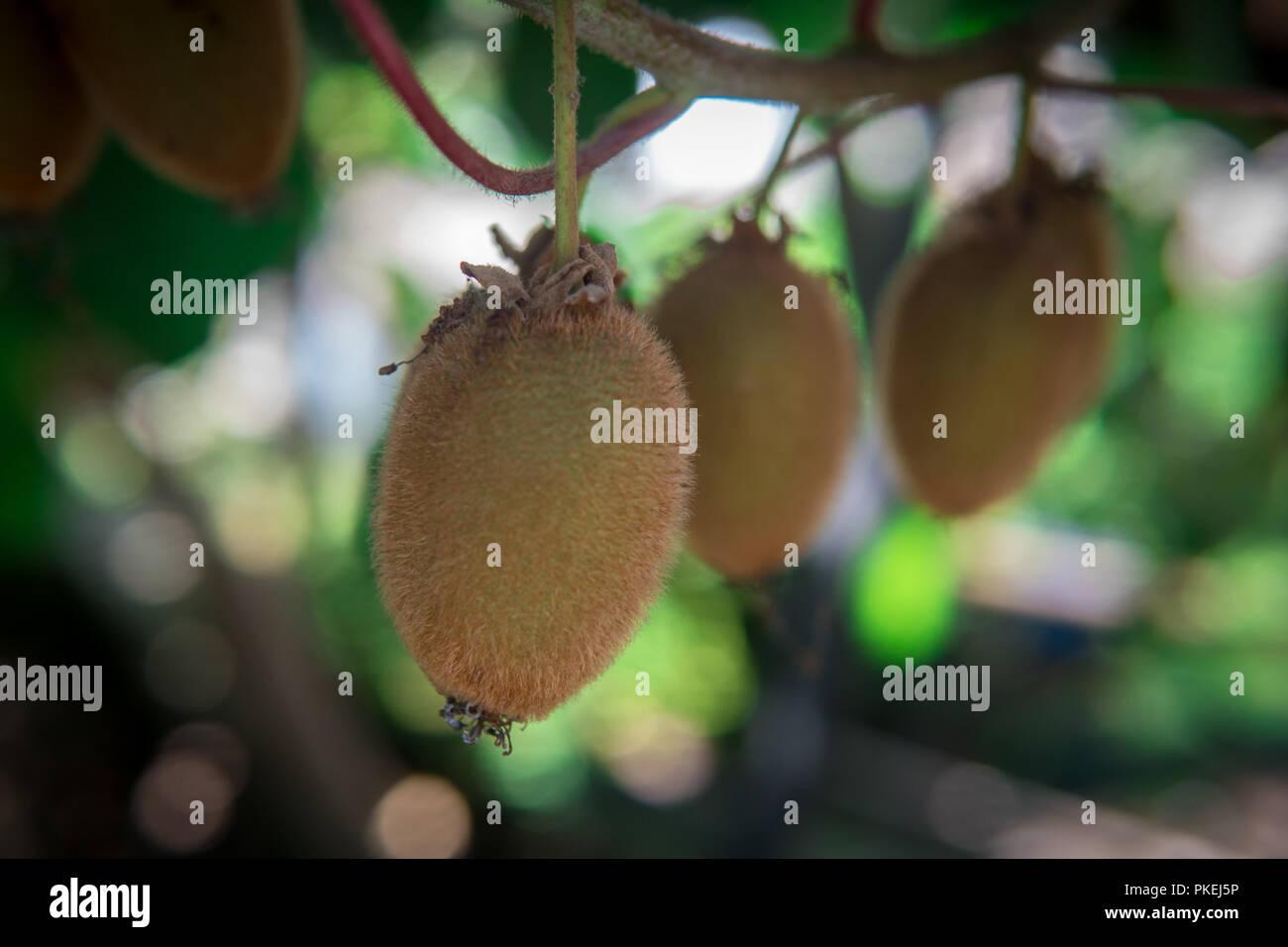 Kiwi fruit on the branch. Some Kiwi on a tree - Stock Image