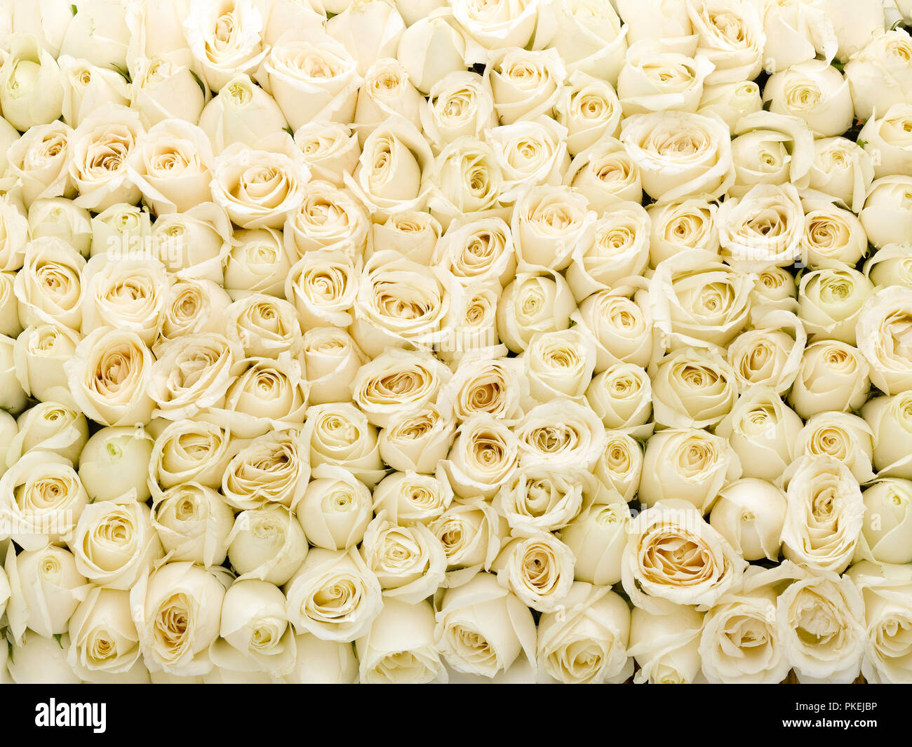 Life Is A Bed Of Roses Stock Photos Life Is A Bed Of Roses Stock