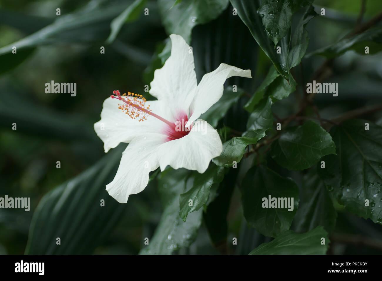 Hibiscus White Wings Stock Photo 218525439 Alamy