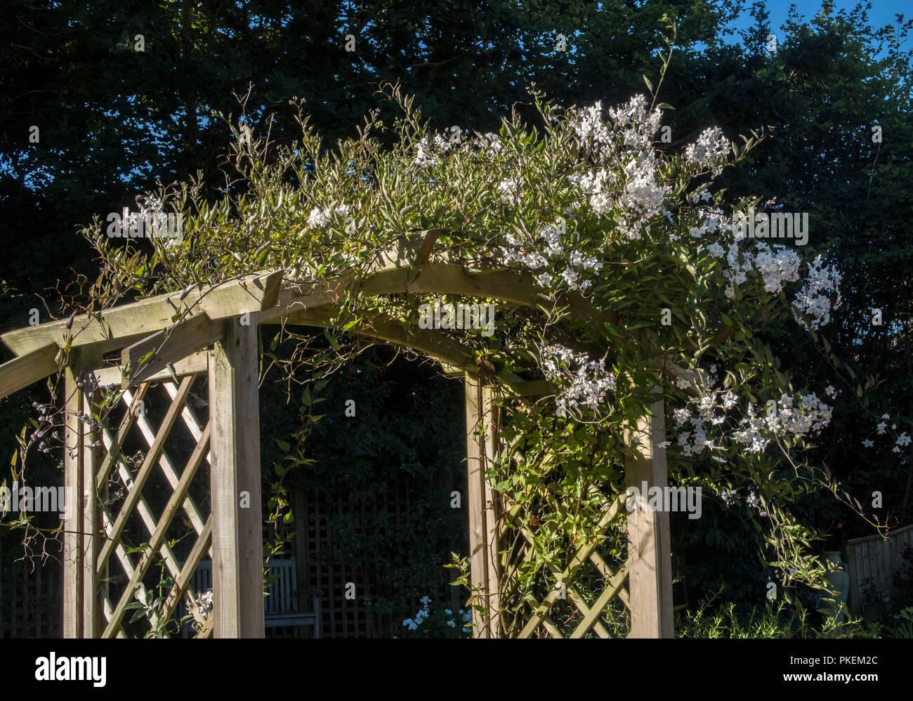 White Jasmine Flowers Growing On A Garden Arch Jasminum Officinale