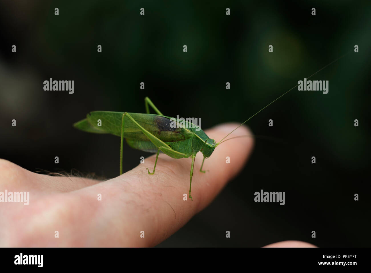 Grasshopper close up sitting on a human finger. Green grasshopper. - Stock Image