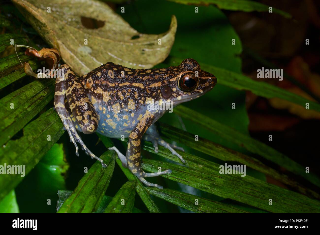 A Spotted Stream Frog (Pulchrana picturata) on a palm frond in Ranau, Sabah, East Malaysia, Borneo - Stock Image