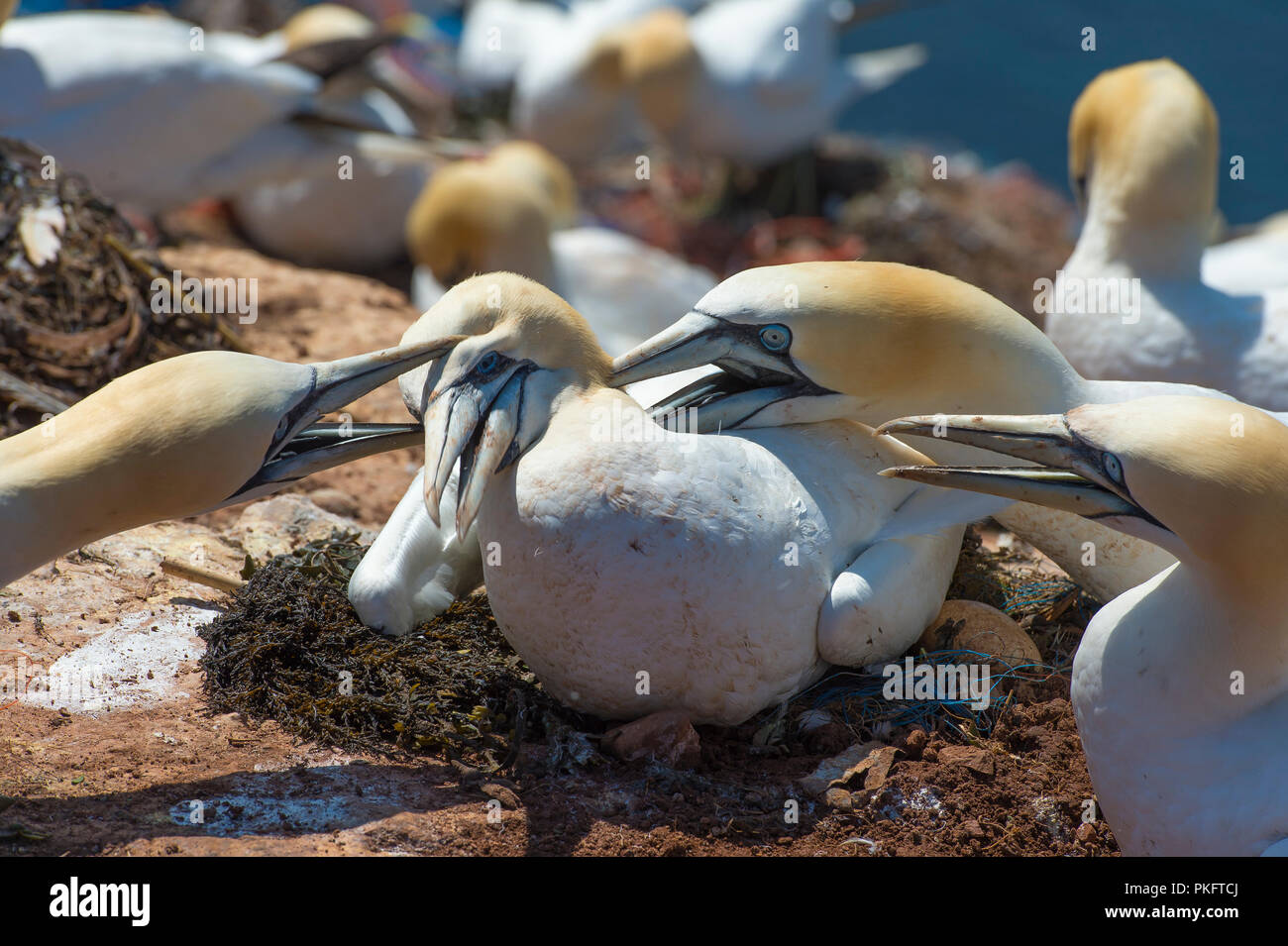 Northern gannet (Morus bassanus), at the nest attacked by neighboring birds, Heligoland, Schleswig-Holstein, Germany - Stock Image