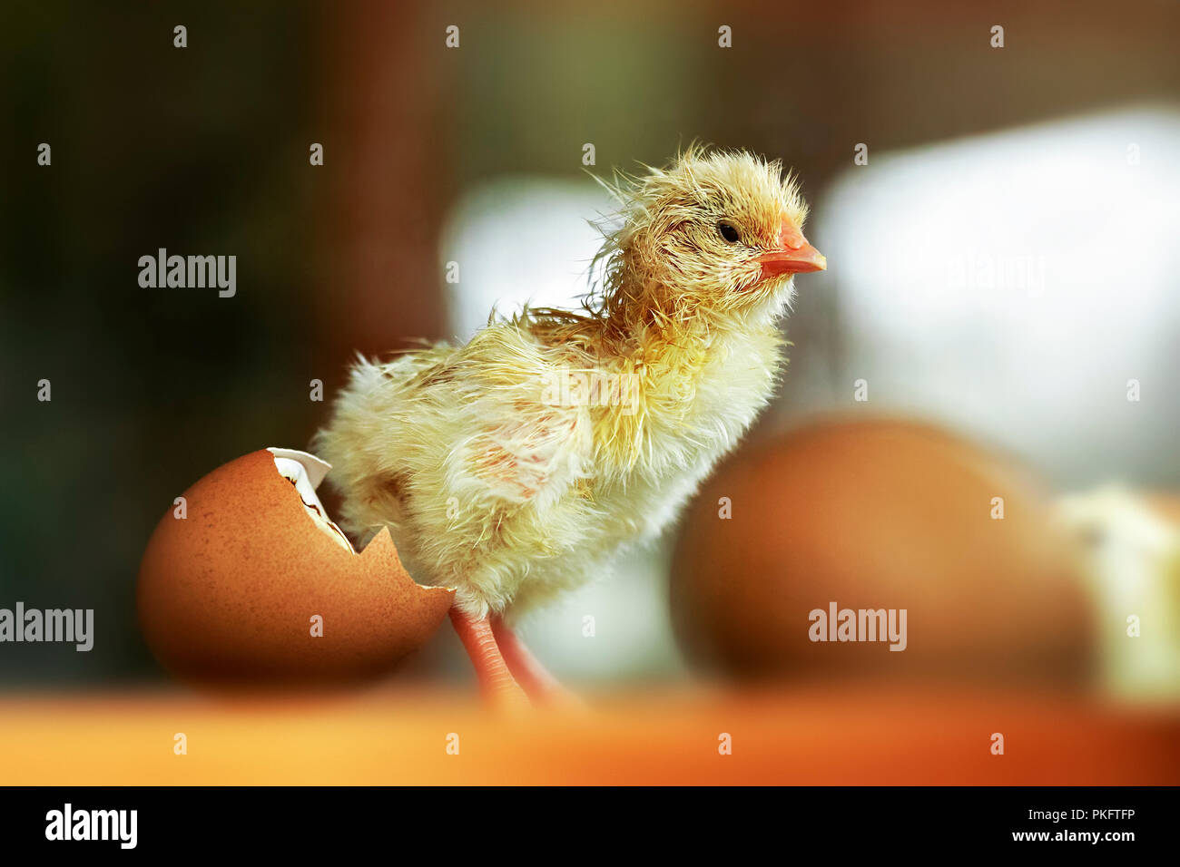 Chicken (Gallus gallus domesticus), chick hatching in the incubator, Germany - Stock Image