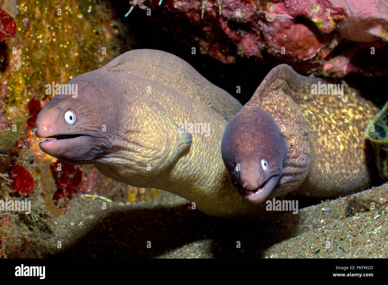 Two White-eyed Moray Eels (Siderea thyrsoidea), Dumaguete, Negros, Philippines Stock Photo