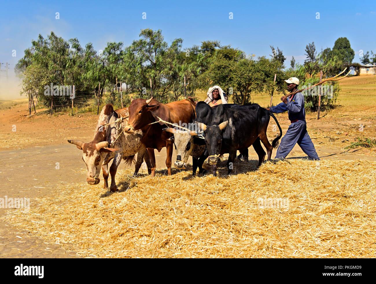Traditional threshing of Teff (Eragrostis tef) by making Zebu cattle walk in circles on the grain, Hawzien Plateau, Tigray, Ethiopia - Stock Image