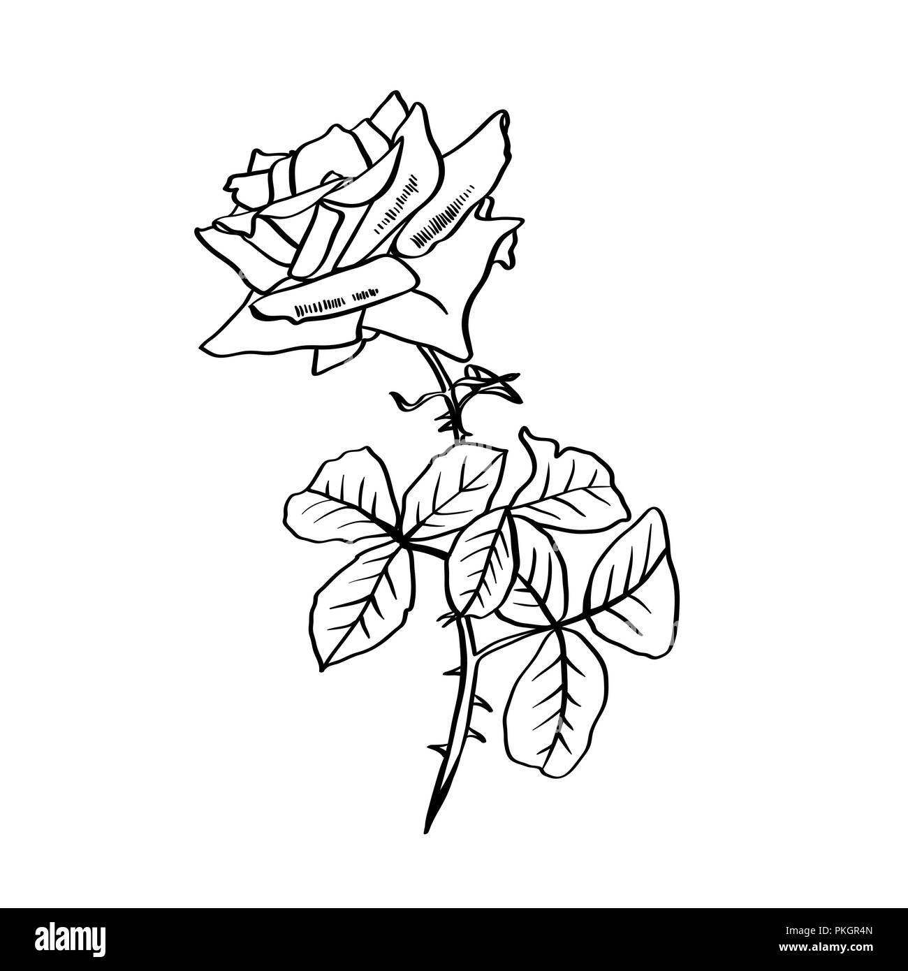Rose pencil drawing garden flower sketch postcard logo cover tattoo floral design element vector isolated on white background