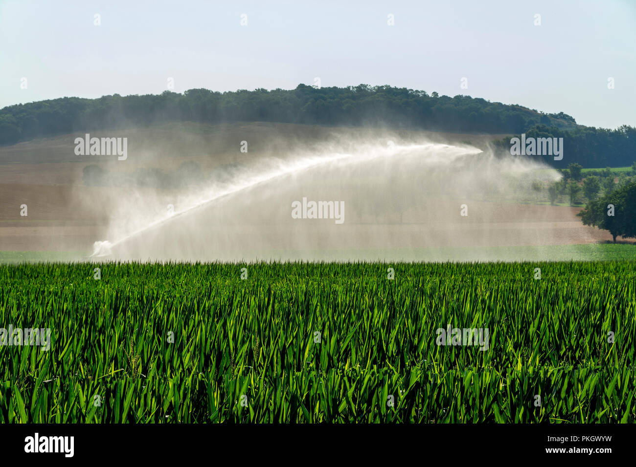 Watering in a field of wheat, Limagne plain, Puy de Dome department, Auvergne Rhone Alpes, France, Europe - Stock Image