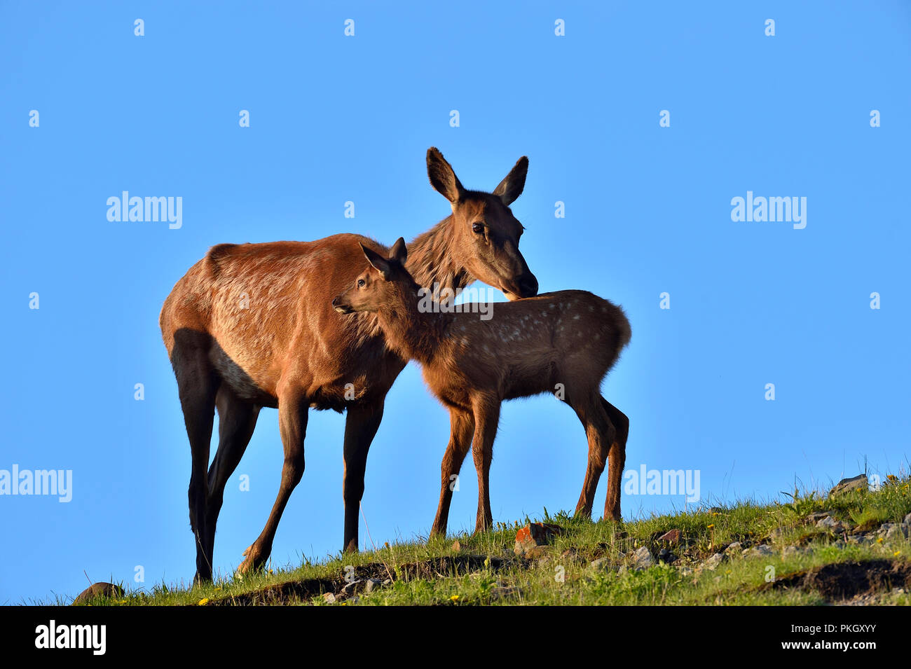 A mother elk  ( Cervus canadensis), being affectionate to her young calf on a mountain ridge  in rural Alberta Canada - Stock Image