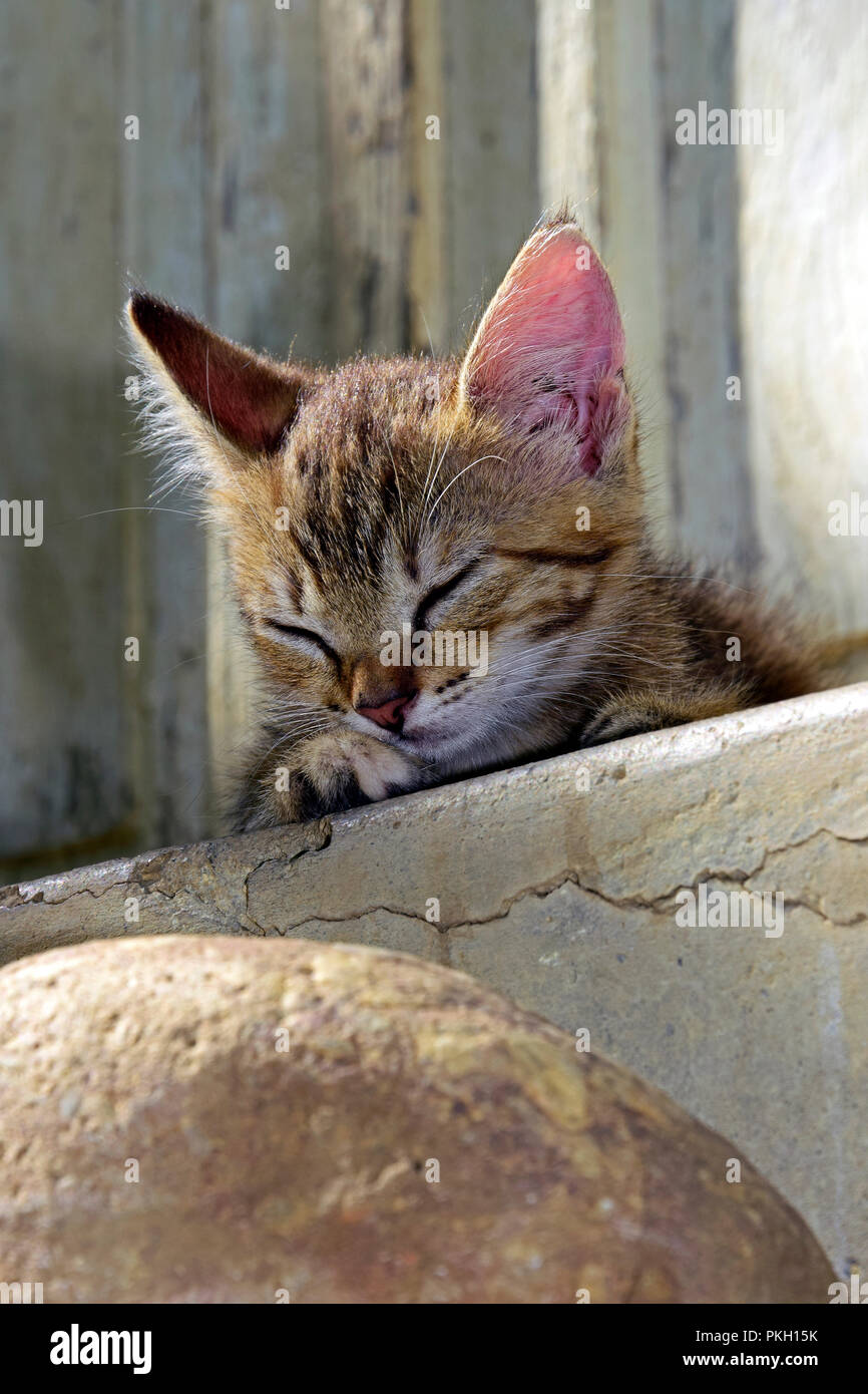 Portrait of a grey-brown tabby kitten laying on a concrete step and dozing - Stock Image