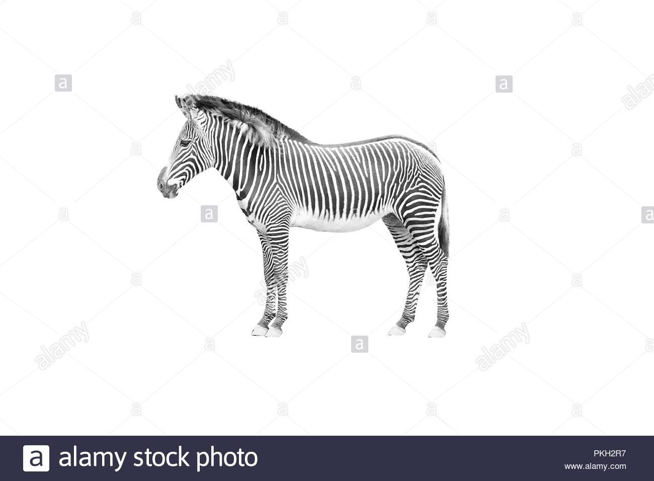 Freigestelltes Foto eines Zebras - cut out - Stock Image
