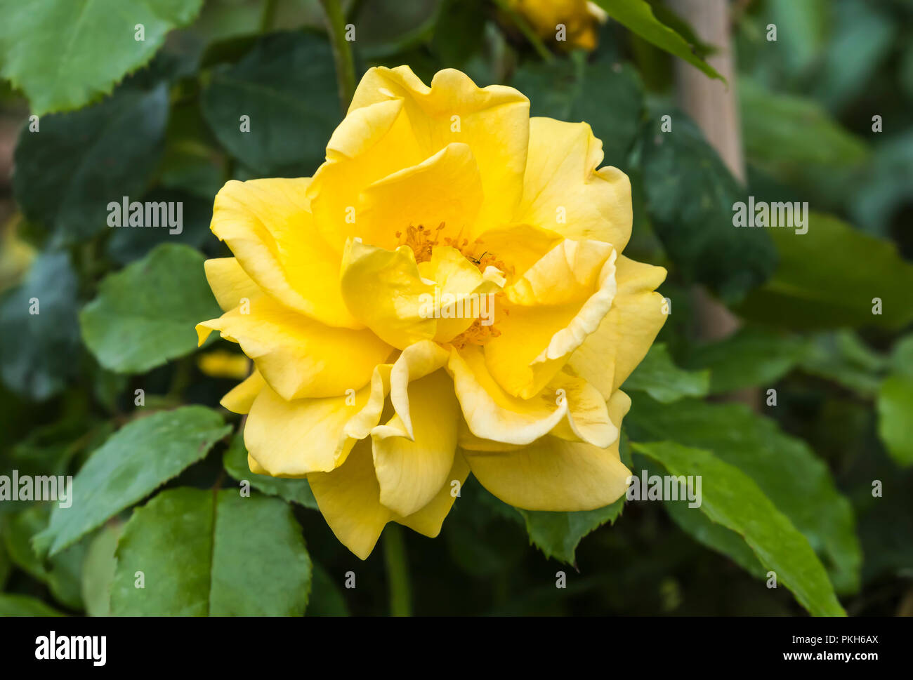 Single golden yellow flower head of the Standard Tree Rose 'Precious Gold' (Rosa floribunda 'Precious Gold') flowering in Autumn in the UK. - Stock Image