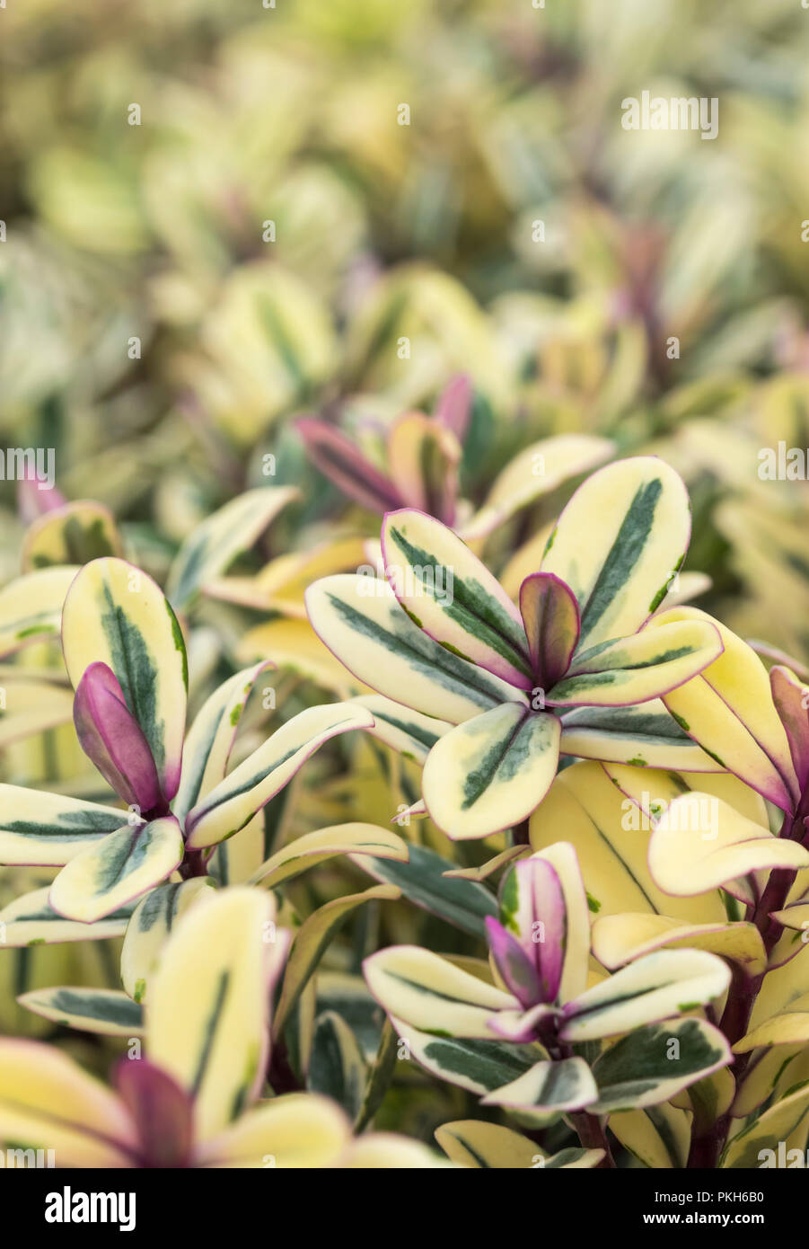 Hebe franciscana 'Tricolour' ('Tricolor'), an evergreen shrubby hebe plant in early Autumn in West Sussex, England, UK. - Stock Image
