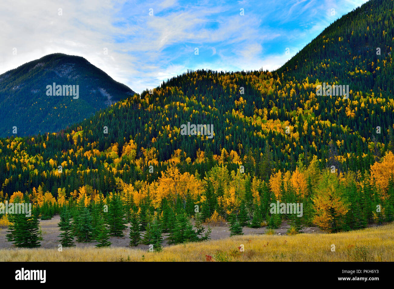 A horizontal autumn landscape of amixed forest with deciduous trees in amongst the conifers in Jasper National Park. - Stock Image