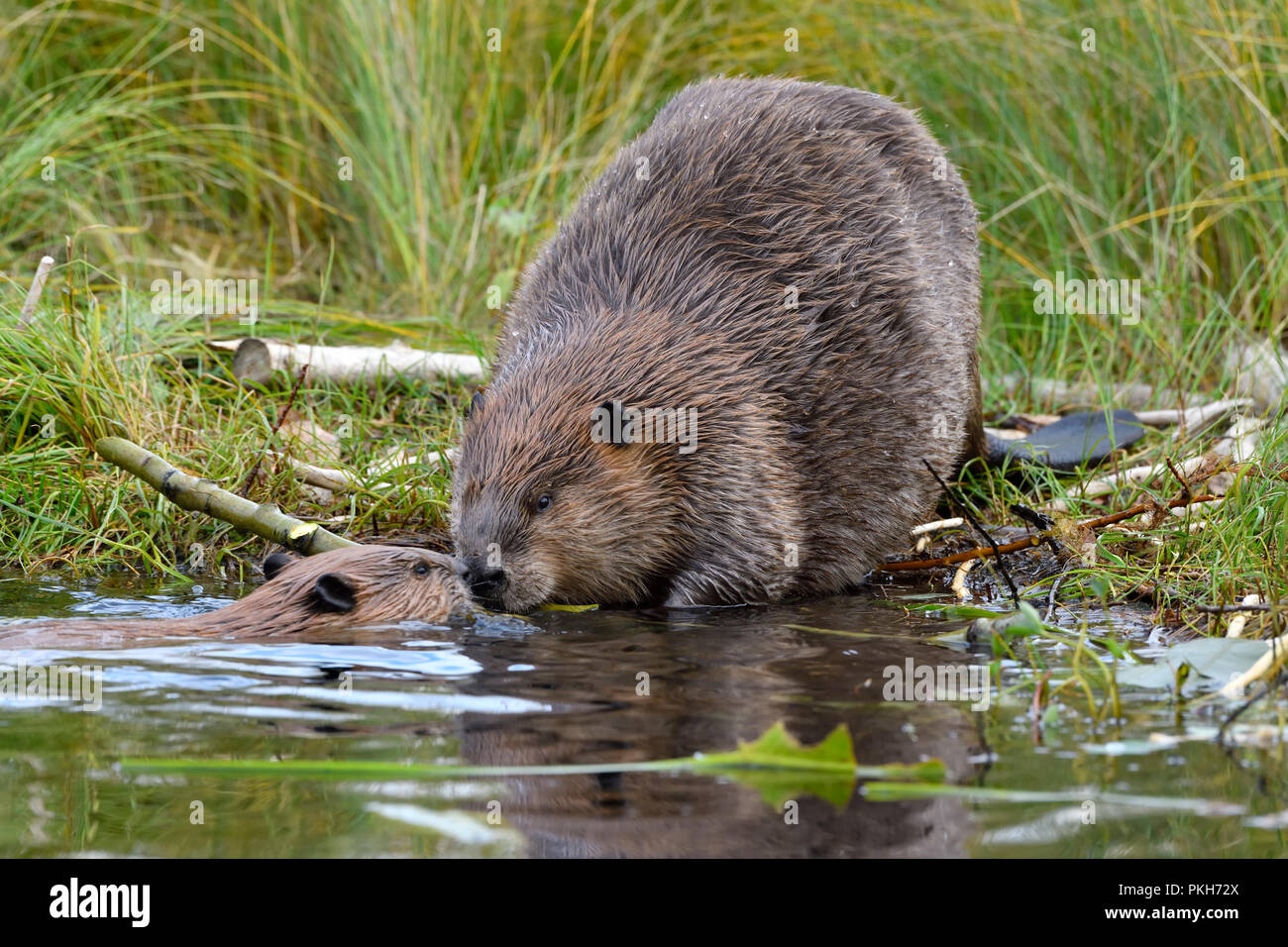 A mother beaver 'Castor canadensis' greeting her year old kit on the shore of Maxwell Lake in Hinton Alberta Canada. - Stock Image