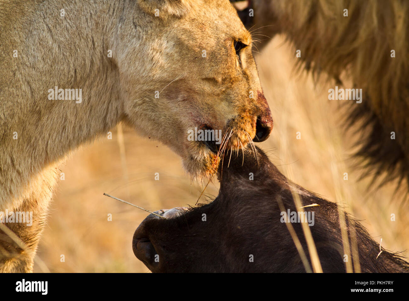 A lioess has just suffocated a buffalo bull and the pride has already started to feed of the carcass. Stock Photo