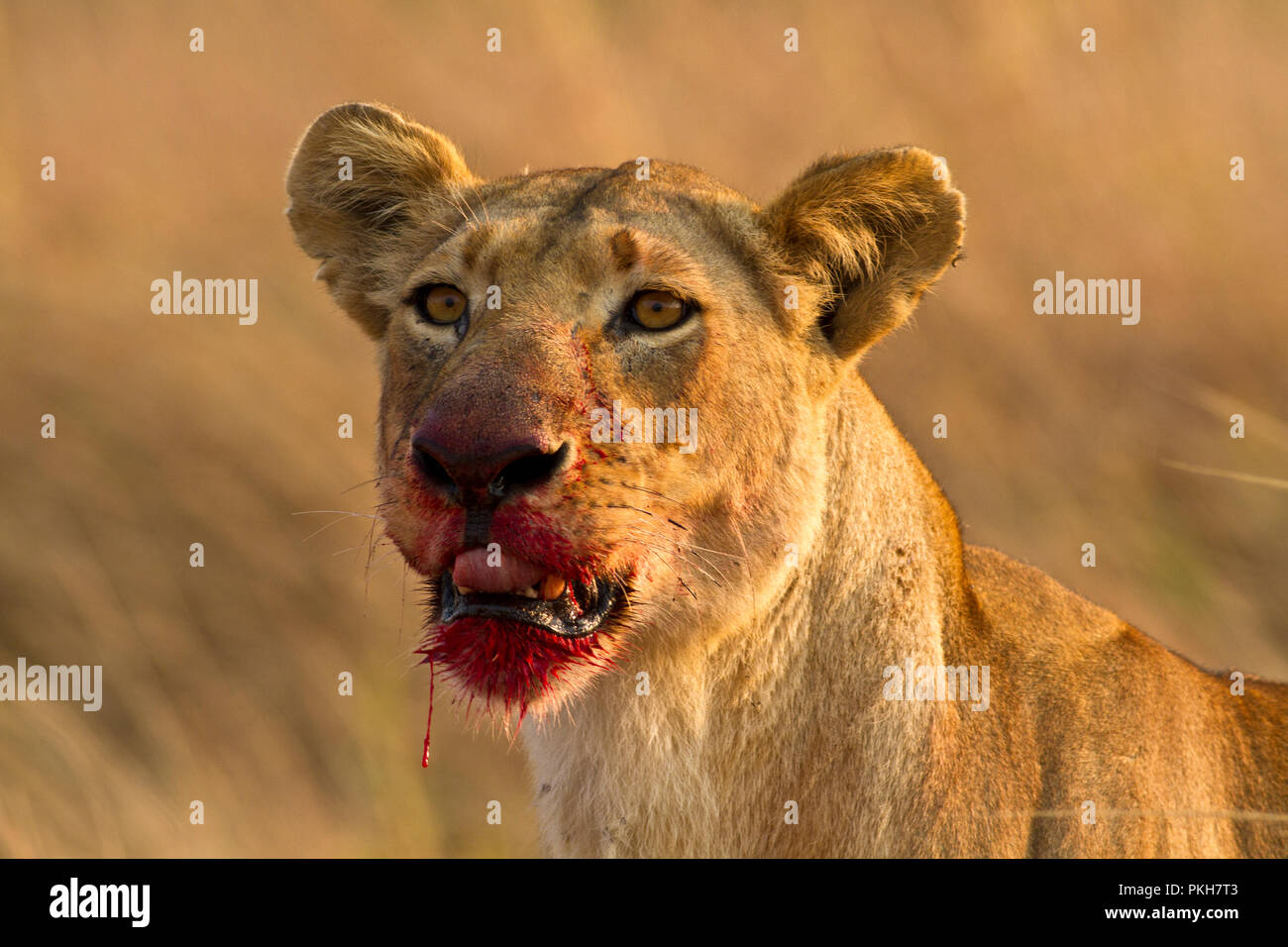 A lioness takes a break from eating a recently killed buffalo - Stock Image