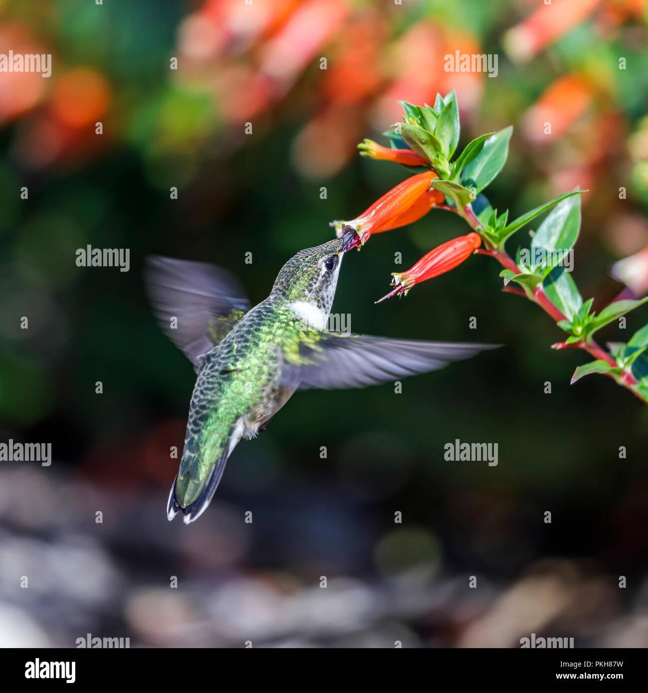 Ruby-throated hummingbird (Archilochus colubris), female, feeding on Mexican Cigar Plant, Cuphea, Manitoba, Canada. - Stock Image
