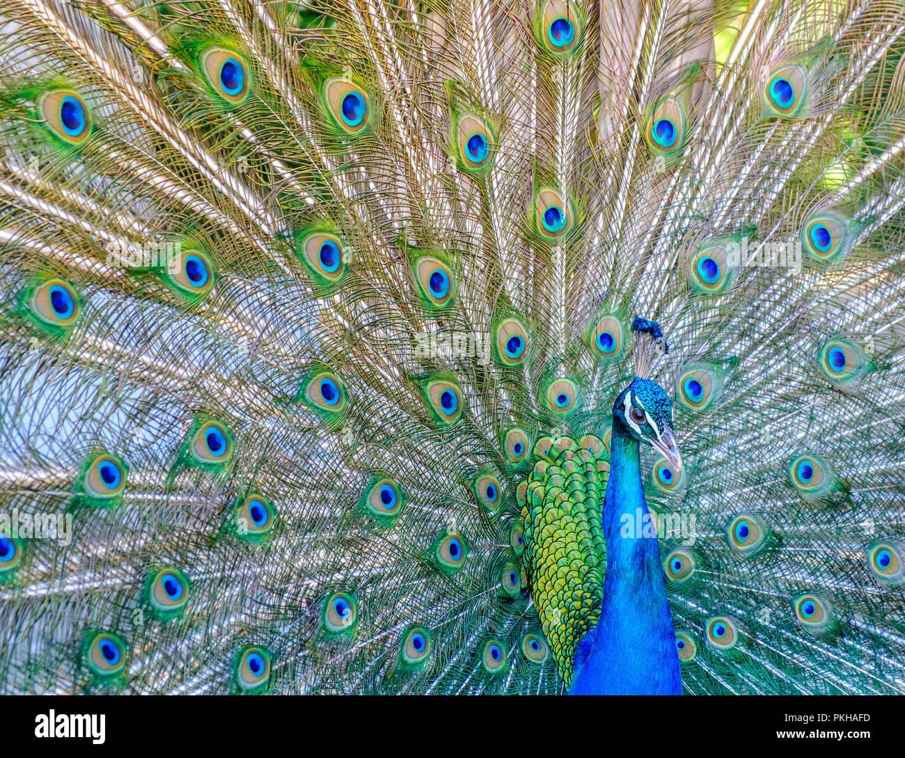 A Peacock (Pavo cristatus) on Lokrum Island, Croatia, Europe Stock Photo